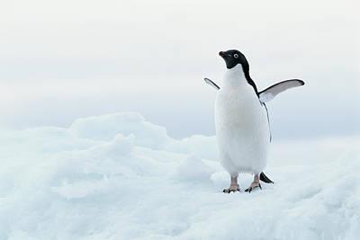 Antarctica, Adelie Penguin (pygoscelis Adeliae) On Iceberg Art Print by Joseph Van Os