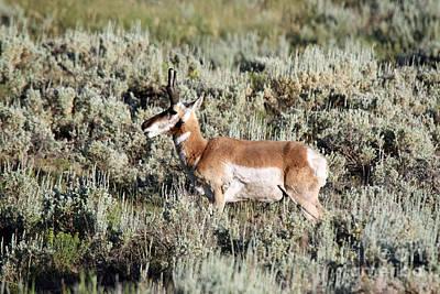 Antelope In Lamar Valley Art Print