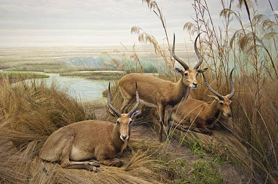 Antelope In The Grass Near The River Art Print