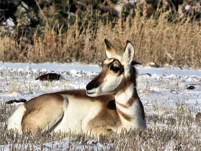 Antelope In Wintertime Art Print by Marion Muhm