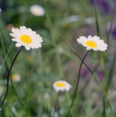 Photograph - Anthemis Abrotanifolia Or Chamomile by Paul Cowan