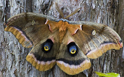 Photograph - Antheraea Polyphemus Polyphemus Moth  by Wade Clark