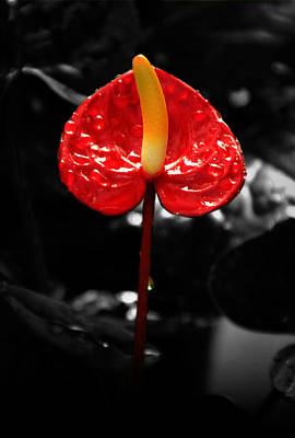 Photograph - Anthurium Rising by Jacqui Collett