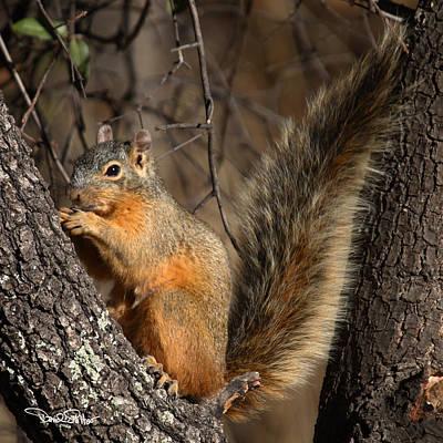 Apache Fox Squirrel Art Print by David Salter