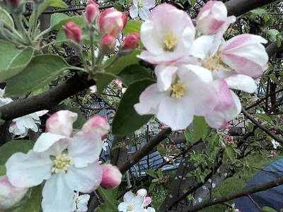 Photograph - Apple Blossom by Julie Butterworth