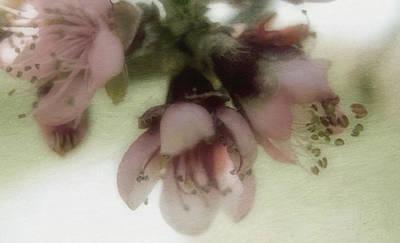 Photograph - Apple Blossoms by Ellen Heaverlo