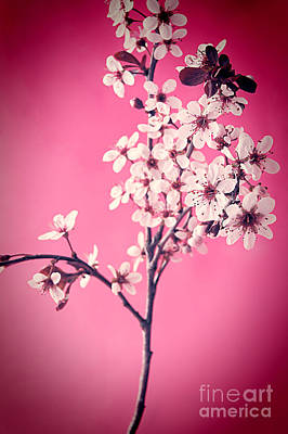 Cherry Blossoms Photograph - Apple Blossoms by HD Connelly