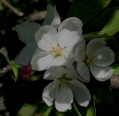 Apple Blossoms Art Print by Karen Harrison