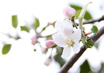 Photograph - Apple Blossoms by Masha Batkova