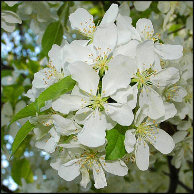 Striking Photograph - Apple Blossoms On The Trail by LeeAnn McLaneGoetz McLaneGoetzStudioLLCcom