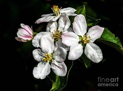 Rosaceae Photograph - Apple Bouquet by Robert Bales