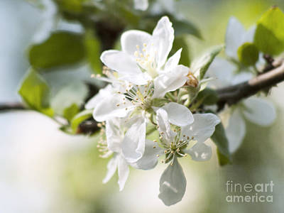 Apple Tree Flowers Art Print