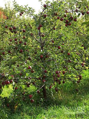 Photograph - Apple Tree Photograph by Kristen Fox