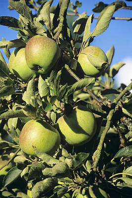 Apples Ripening On A Tree Art Print by David Aubrey