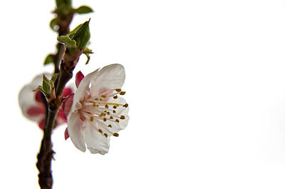 Photograph - Apricot Blossom by Stamatis Gr