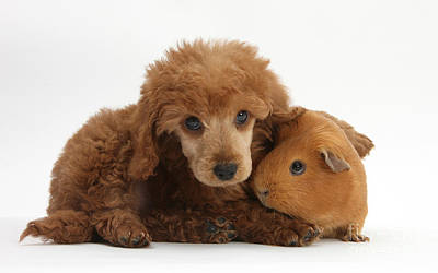 Cavy Photograph - Apricot Miniature Poodle Pup With Red by Mark Taylor
