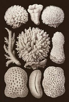 Arabian Corals, Historical Artwork, 1876 Art Print