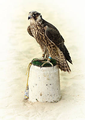 Photograph - Arabian Hunting Falcon by Paul Cowan