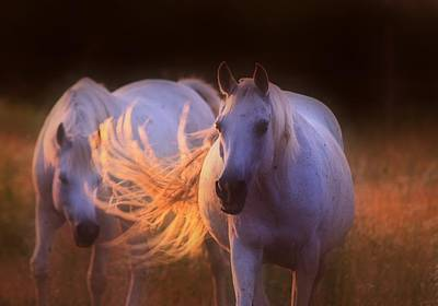 Arabian Horse Photograph - Arabian Mares In The Evening Light by ELA-EquusArt