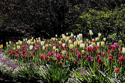 Photograph - Araluen Botanic Gardens Tulips 1 by Tony Brown