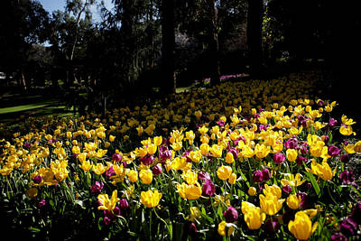 Photograph - Araluen Botanic Gardens Tulips 10 by Tony Brown