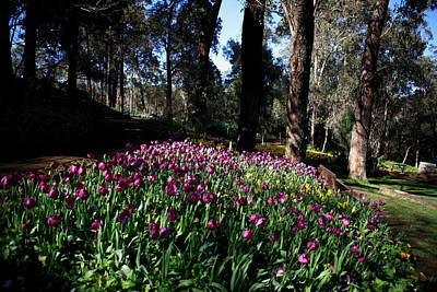 Photograph - Araluen Botanic Gardens Tulips 11 by Tony Brown