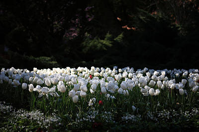 Photograph - Araluen Botanic Gardens Tulips 12 by Tony Brown