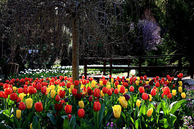 Photograph - Araluen Botanic Gardens Tulips 13 by Tony Brown