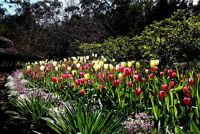 Photograph - Araluen Botanic Gardens Tulips 14 by Tony Brown