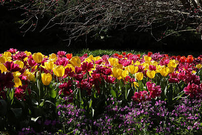 Photograph - Araluen Botanic Gardens Tulips 15 by Tony Brown