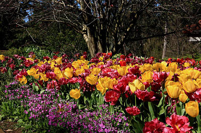 Photograph - Araluen Botanic Gardens Tulips 16 by Tony Brown
