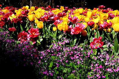 Photograph - Araluen Botanic Gardens Tulips 17 by Tony Brown