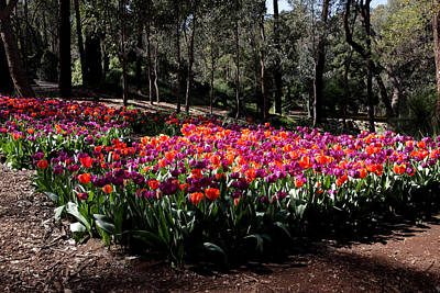 Photograph - Araluen Botanic Gardens Tulips 19 by Tony Brown
