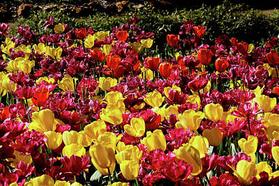 Photograph - Araluen Botanic Gardens Tulips 2 by Tony Brown