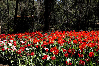 Photograph - Araluen Botanic Gardens Tulips 20 by Tony Brown