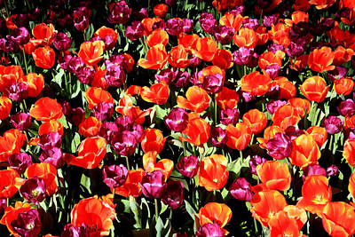 Photograph - Araluen Botanic Gardens Tulips 21 by Tony Brown