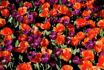 Photograph - Araluen Botanic Gardens Tulips 22 by Tony Brown