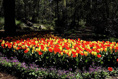 Photograph - Araluen Botanic Gardens Tulips 23 by Tony Brown
