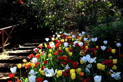 Photograph - Araluen Botanic Gardens Tulips 24          by Tony Brown