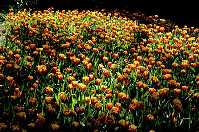 Photograph - Araluen Botanic Gardens Tulips 26 by Tony Brown