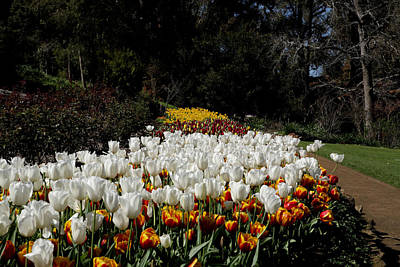 Photograph - Araluen Botanic Gardens Tulips 27 by Tony Brown