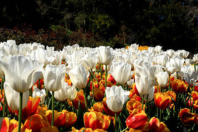 Photograph - Araluen Botanic Gardens Tulips 28 by Tony Brown