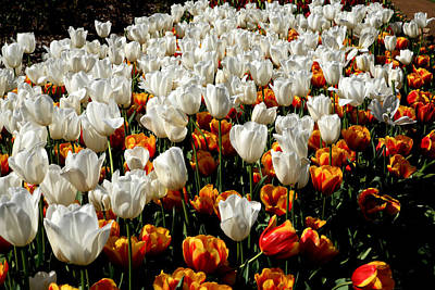 Photograph - Araluen Botanic Gardens Tulips 29 by Tony Brown