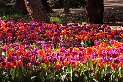 Photograph - Araluen Botanic Gardens Tulips 3 by Tony Brown
