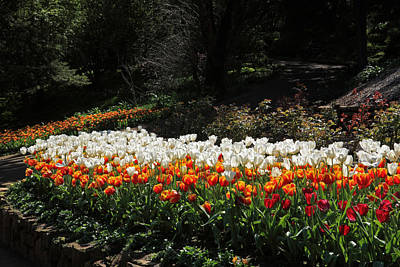 Photograph - Araluen Botanic Gardens Tulips 32 by Tony Brown