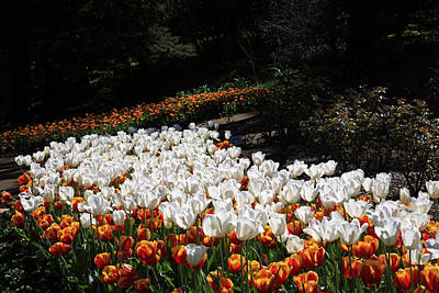 Photograph - Araluen Botanic Gardens Tulips 33 by Tony Brown