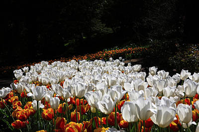 Photograph - Araluen Botanic Gardens Tulips 34 by Tony Brown