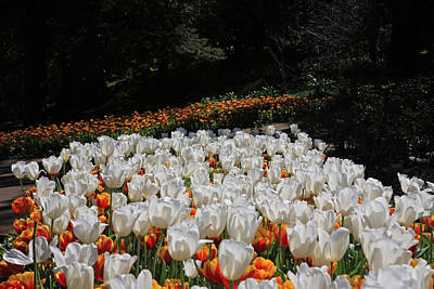 Photograph - Araluen Botanic Gardens Tulips 35 by Tony Brown