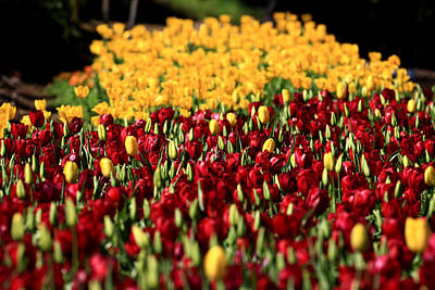 Photograph - Araluen Botanic Gardens Tulips 36 by Tony Brown