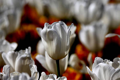 Photograph - Araluen Botanic Gardens Tulips 37 by Tony Brown